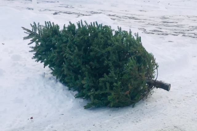 Webster Area Christmas Tree Disposal Locations